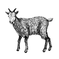 Goat sketch style. Hand drawn illustration of beautiful black and white animal. Line art drawing in vintage style. Realistic image.