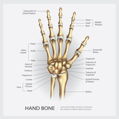 Hand Bone with Detail Vector Illustration