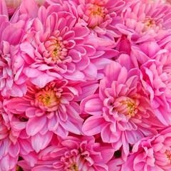 pink chrysanthemum flowers, natural background