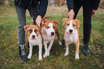 Puppies of the American Staffordshire Terrier walk in the park with their owner. Purebred breed.