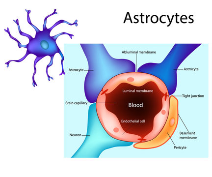 Astrocytes. Schematic diagram of the neurogliovascular unit. Types of glial cells such as pericytes and astrocytes
