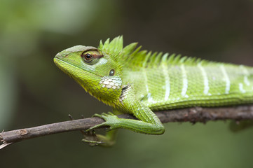 Sägerückenagame (Calotes calotes) - common green forest lizard