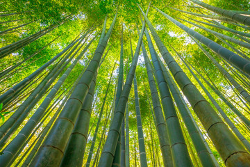 Green bamboo background. From the bottom to the top view of grove of bamboo garden. Take-dera  Temple or Hokoku-ji Temple in Kamakura, Japan. Meditative and buddhism concept.