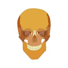 human skull front view. isolated on white background