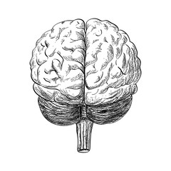Human brain drawing in the white background, vector illustration