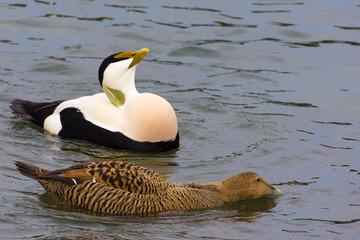 Eider duck couple, lake Zurich