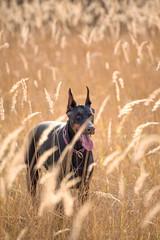 Portrait of Beautiful Doberman pinscher dog,selective focus