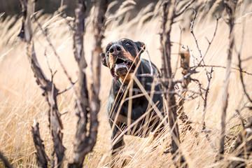 Portait of barking Doberman pinscher dog outdoor,selective focus