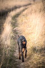 Female of Doberman pinscher dog walking on the field road