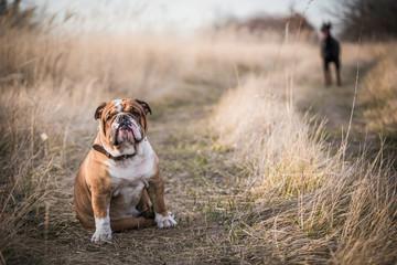 English bulldog posing outdoor with Doberman pinscher in background,selective focus