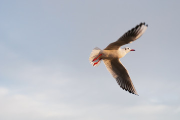 Soaring seagull in the sky