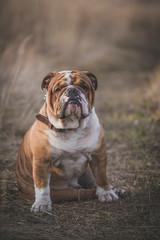 Portait of beautiful English bulldog on the field,selective focus