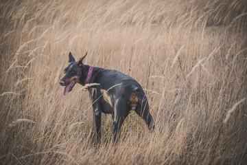 Female Doberman pinscher dog posing outdoor,selective focus
