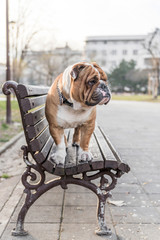 English bulldog standing on the bench in park,selective focus