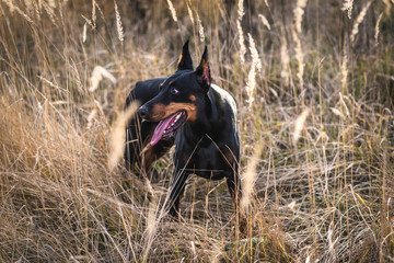 Female Doberman pinscher playing on the field,selective focus