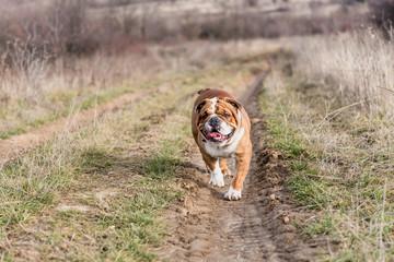 English bulldog walking on the off road,selective focus