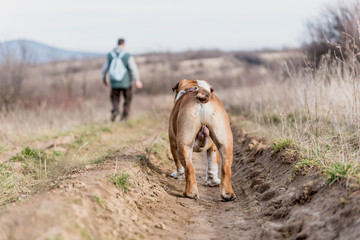 English bulldog walking with his owner,seelctive focus