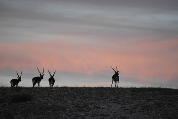Black Buck Antelopes in the wild at sunset