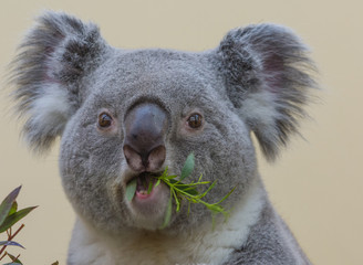 Photo sur Aluminium Koala Koala eating - Closeup