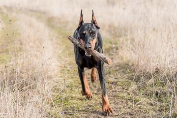 Female Doberman pinscher running with wooden stick