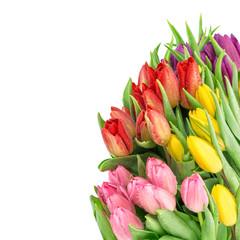 Tulip flowers fresh spring blooms water drops