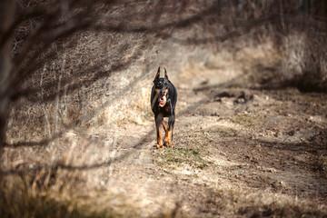 Female Doberman pinscher walking in the woods,selective focus