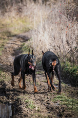 Two female of Doberman pinscher walking in the woods,selective focus