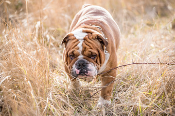 English bulldog walking on the dried grass,selective focus
