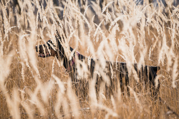 Female Doberman pinscher hiding behind golden grass,selective focus