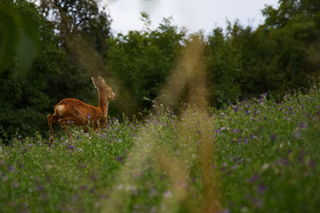 running hind in meadow, jumping roe deer