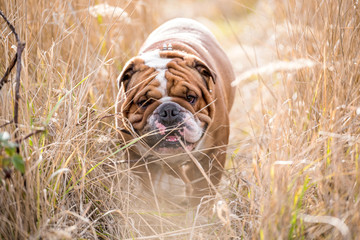 English bulldog walking in deep grass field,selective focus