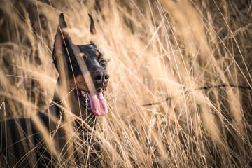 Female Doberman pinscher hiding in the deep grass,selective focus