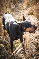 Angry and barking Doberman pinscher dog,selective focus