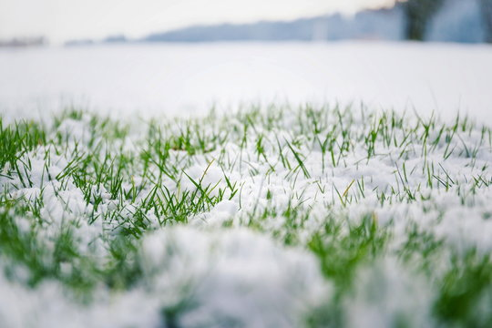 Filtered moody green grass growing through snow on golf course in winter with bush in background, low angle view, copy space, Hello spring, Goodbye winter concept