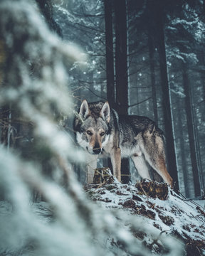 Wolf dog standing in forest