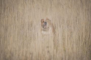 English bulldog deep in the golden grass,selective focus