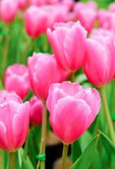 pink tulip in a beautiful field.