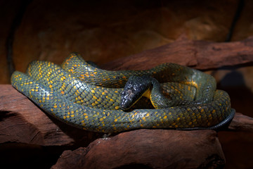 Puffing Snake, Pseustes poecilonotus, in dark habitat. Non venomous snake in the nature habitat. Poisonous animal from South America. Yellow blue snake in the nature. Wildlife Costa Rica