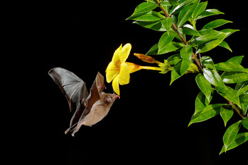 Orange nectar bat, Lonchophylla robusta, flying bat in dark night. Nocturnal animal in fly with yellow feed flower. Wildlife action scene from tropic nature, Costa Rica. Tongue stick out. Mammal fly.