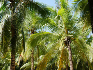 Tropical coconut tree with sky. Summer nature background