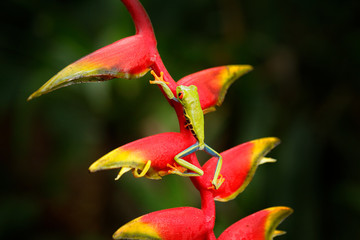 Red-eyed Tree Frog, Agalychnis callidryas, animal with big red eyes, in nature habitat, Costa Rica. Frog from Panama. Beautiful frog forest, exotic animal from central America, red heliconia flower.