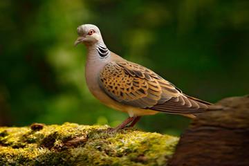 Turtle dove, Streptopelia turtur, Pigeon forest bird in the nature habitat, green background, Germany. Wildlife scene from green forest.