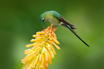 Bird with bloom. Wildlife Ecuador. Hummingbird Long-tailed Sylph eating nectar from beautiful yellow strelicia flower in Ecuador. Wildlife scene from green tropic forest.