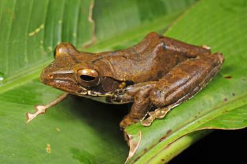 Weißbart-Ruderfrosch (Rhacophorus leucomystax) - Common tree frog