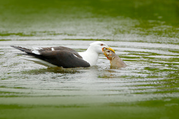 Kelp Gull, Larus dominicanus, water bird with open bill, Finland. Widlife scene from nature. Bird from Europe.Gull feeding on trout in the water. Green lake with bird. Gull catch fish.