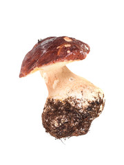 cep with thick stem