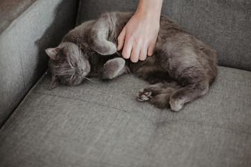 Chartreux Katze liegt auf dem Sofa