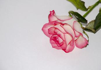 delicate rose flower