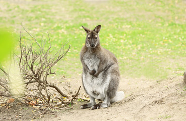 Cute funny kangaroo in zoological garden