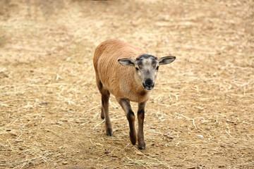 Cute lamb in farm yard